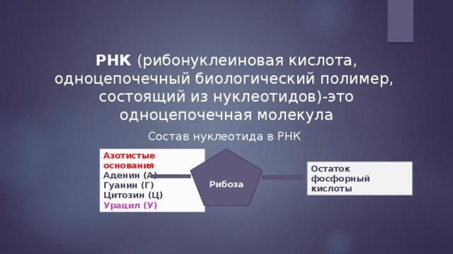 РНК (рибонуклеиновая кислота, одноцепочечный биологический полимер, состоящий из нуклеотидов)-это одноцепочечная молекула Состав нуклеотида в РНК Рибоза Азотистые основания  Аденин (А)  Гуанин (Г)  Цитозин (Ц)  Урацил (У) Остаток фосфорный кислоты