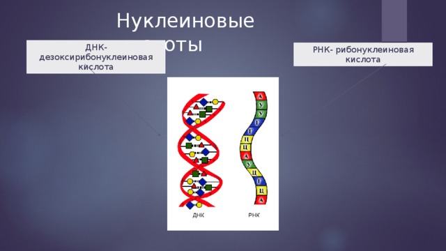 Нуклеиновые кислоты ДНК- дезоксирибонуклеиновая кислота РНК- рибонуклеиновая кислота