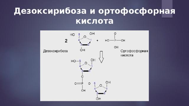 Дезоксирибоза и ортофосфорная кислота