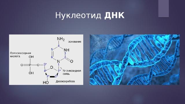 Нуклеотид ДНК