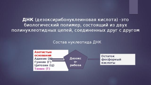 ДНК (дезоксирибонуклеиновая кислота) -это биологический полимер, состоящий из двух полинуклеотидных цепей, соединенных друг с другом Состав нуклеотида ДНК Дезоксо-рибоза Азотистые основания  Аденин (А)  Гуанин (Г)  Цитозин (Ц)  Тимин (Т) Остаток фосфорный кислоты