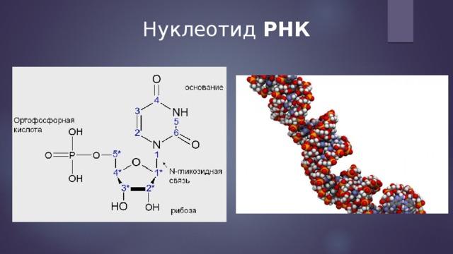 Нуклеотид РНК