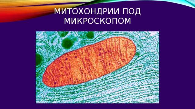 митохондрии под микроскопом