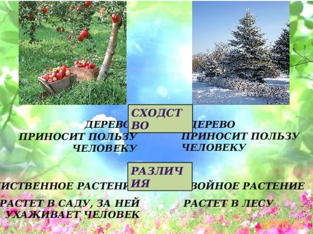 Сходство Дерево Дерево Приносит пользу человеку Приносит пользу человеку Различия Хвойное растение Лиственное растение Растет в саду, за ней Растет в лесу ухаживает человек