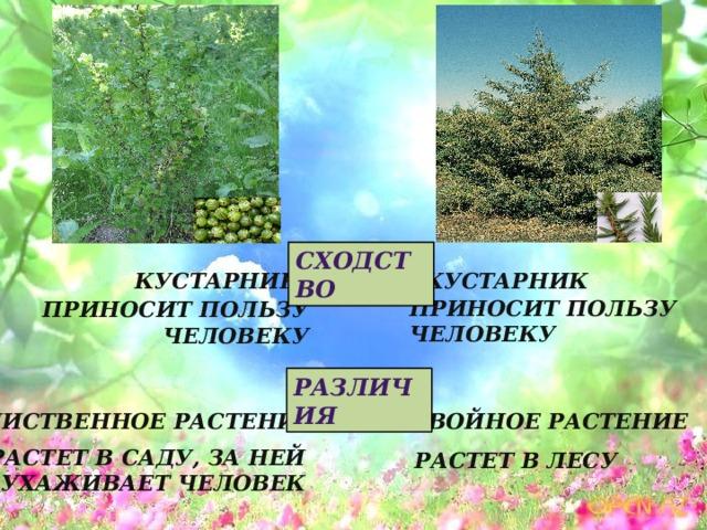 Сходство Кустарник Кустарник Приносит пользу человеку Приносит пользу человеку Различия Хвойное растение Лиственное растение Растет в саду, за ней ухаживает человек Растет в лесу