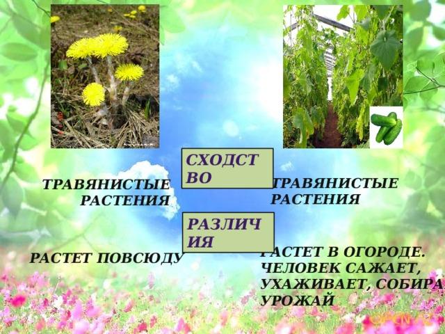 Сходство Травянистые растения Травянистые растения Различия Растет в огороде. Человек сажает, ухаживает, собирает урожай Растет повсюду