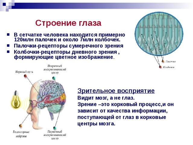 Строение глаза В сетчатке человека находится примерно 120млн палочек и около 7млн колбочек. Палочки-рецепторы сумеречного зрения Колбочки-рецепторы дневного зрения , формирующие цветное изображение . Зрительное восприятие Видит мозг, а не глаз. Зрение –это корковый процесс,и он зависит от качества информации, поступающей от глаз в корковые центры мозга.