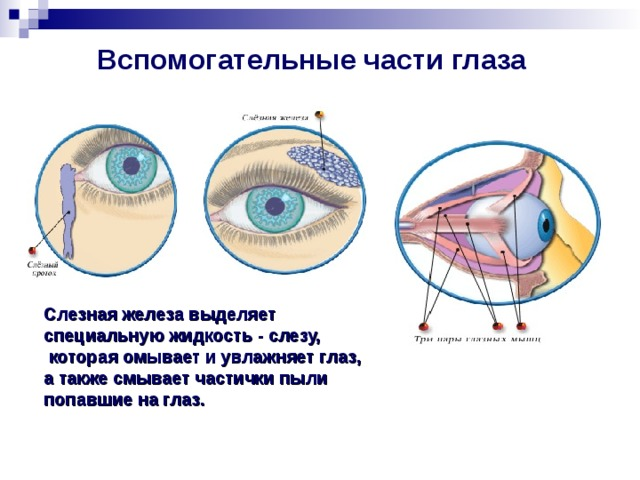 Вспомогательные части глаза  Слезная железа выделяет специальную жидкость - слезу,  которая омывает и увлажняет глаз, а также смывает частички пыли попавшие на глаз.