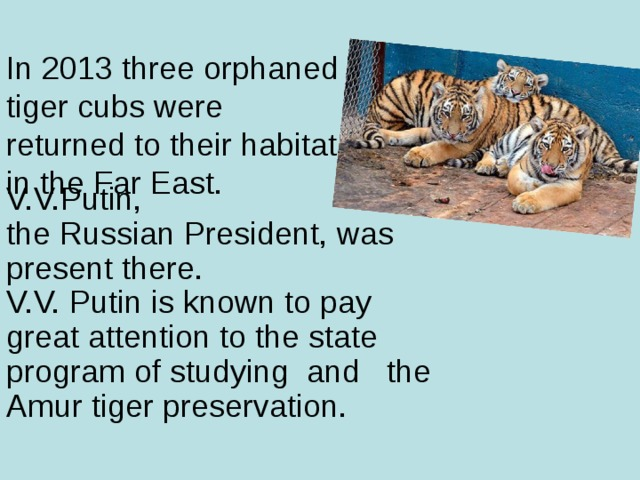 In 2013 three orphaned  tiger cubs were  returned to their habitat  in the Far East. V.V.Putin,  the Russian President, was present there.  V.V. Putin is known to pay great attention to the state program of studying and the Amur tiger preservation.