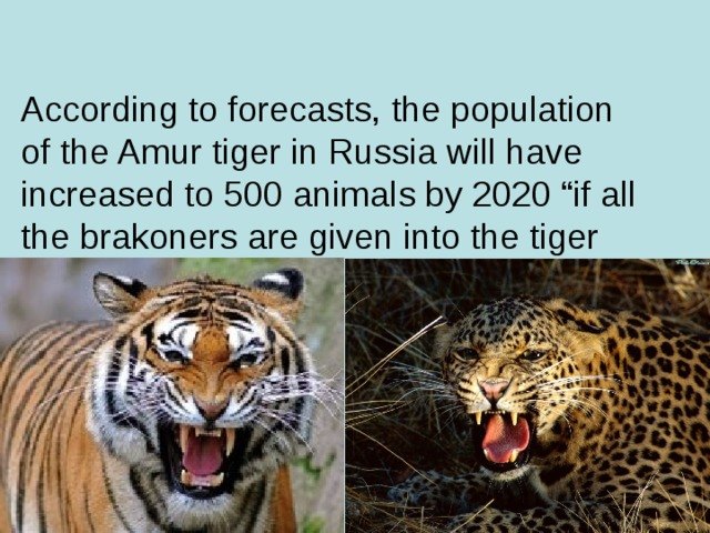 "According to forecasts, the population of the Amur tiger in Russia will have increased to 500 animals by 2020 ""if all the brakoners are given into the tiger and leopard chaps ""- in appliance with Putin's words."