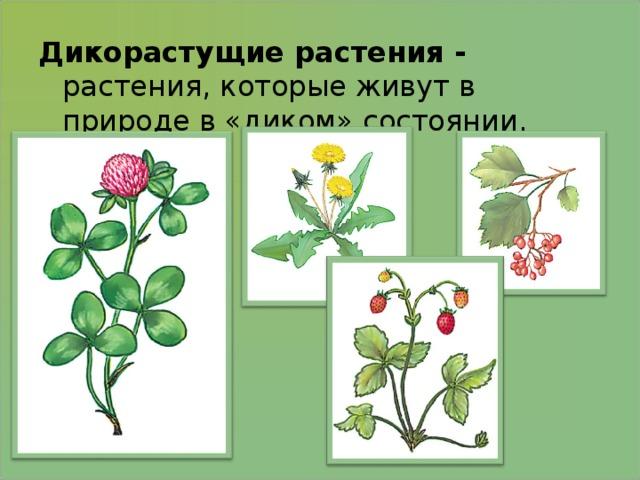 Дикорастущие растения - растения, которые живут в природе в «диком» состоянии.