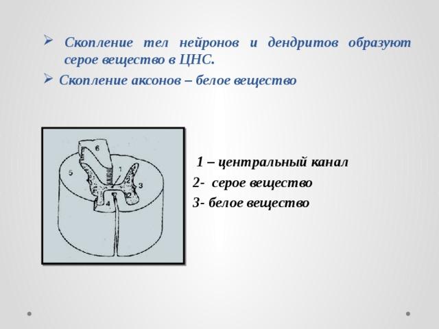 Скопление тел нейронов и дендритов образуют серое вещество в ЦНС. Скопление аксонов – белое вещество