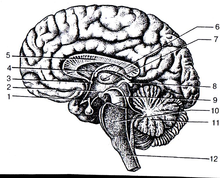 девушка строение мозга человека картинка невысокий юноша