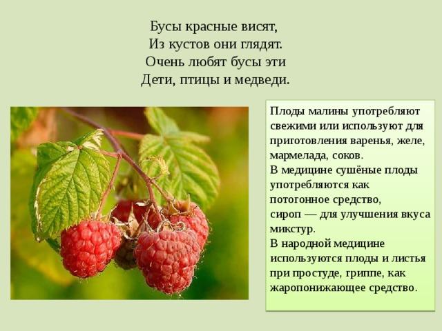 Бусы красные висят, Из кустов они глядят. Очень любят бусы эти Дети, птицы и медведи. Плоды малины употребляют свежими или используют для приготовления варенья, желе, мармелада, соков. В медицине сушёные плоды употребляются как потогонное средство, сироп— для улучшения вкуса микстур. В народной медицине используются плоды и листья при простуде, гриппе, как жаропонижающее средство.