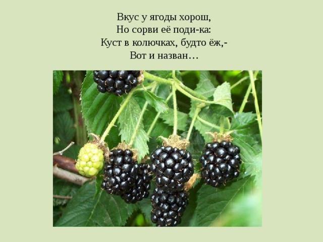 Вкус у ягоды хорош, Но сорви её поди-ка: Куст в колючках, будто ёж,- Вот и назван…