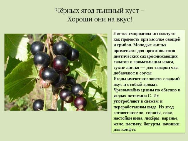 Чёрных ягод пышный куст – Хороши они на вкус! Листья смородины используют как пряность при засолке овощей и грибов. Молодые листья применяют для приготовления диетических сахароснижающих салатов и ароматизации кваса, сухие листья— для заварки чая, добавляют в соусы. Ягоды имеют кисловато-сладкий вкус и особый аромат. Чрезвычайно ценны по обилию в ягодах витамина C. Их употребляют в свежем и переработанном виде. Из ягод готовят кисели, сиропы, соки, настойки вина, ликёры, варенье, желе, пастилу, йогурты, начинки для конфет.