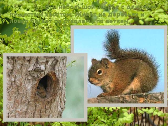 Это небольшой зверёк с длинным пушистым хвостом. Живёт на деревьях и ловко бегает по стволам , по веткам.