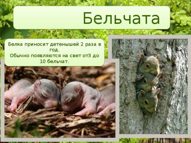 Бельчата Белка приносит детенышей 2 раза в год. Обычно появляются на свет от3 до 10 бельчат. 6/10/19