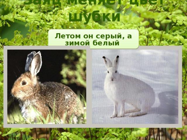 Заяц меняет цвет шубки Летом он серый, а зимой белый 6/10/19