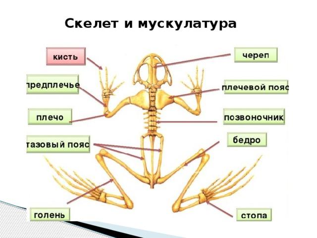 Скелет и мускулатура