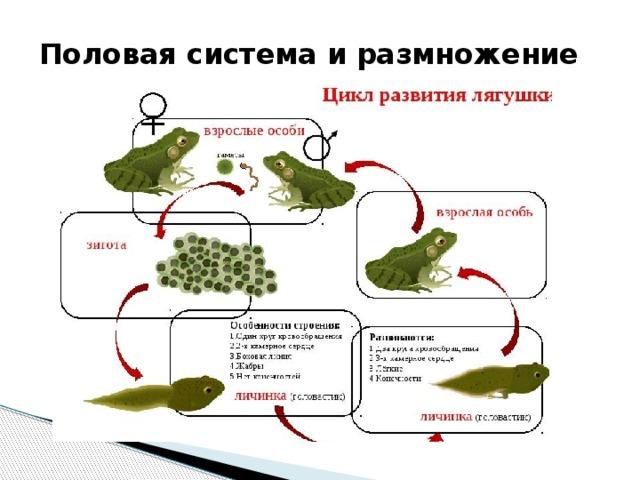 Половая система и размножение