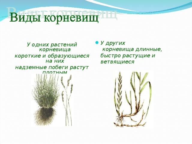 У других корневищадлинные, быстро растущие и ветвящиеся