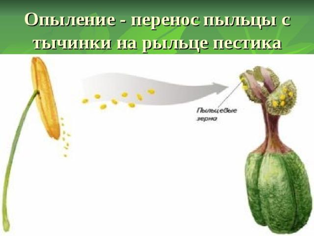 Опыление - перенос пыльцы с тычинки на рыльце пестика