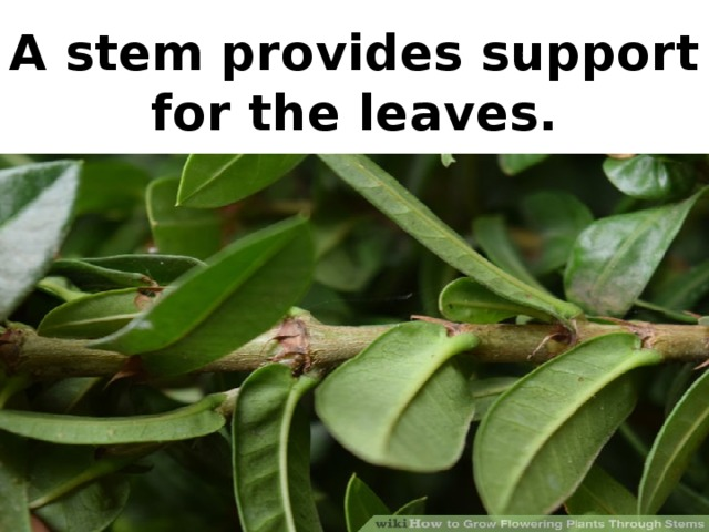 A stem provides support for the leaves.