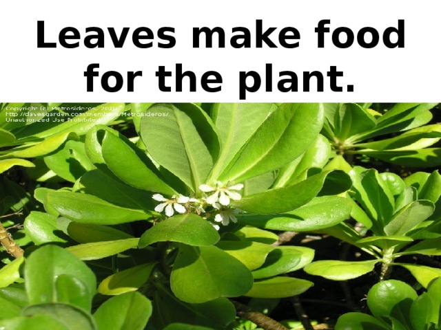 Leaves make food for the plant.