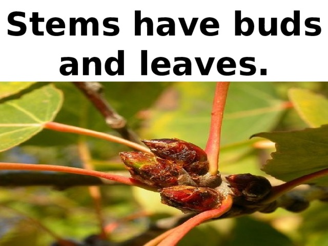 Stems have buds and leaves.