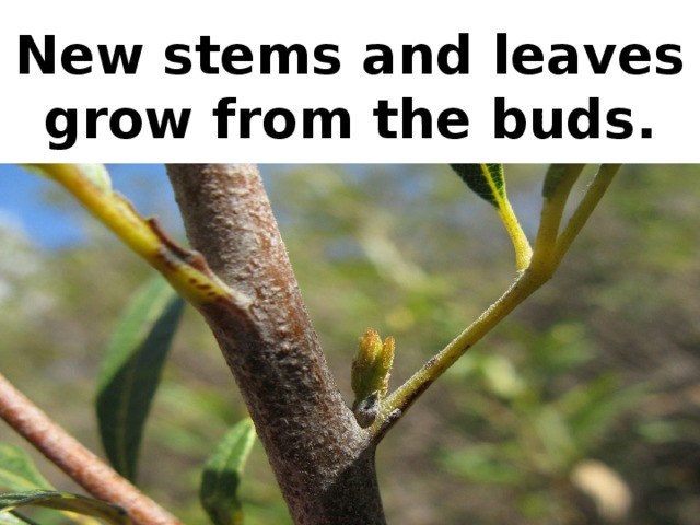 New stems and leaves grow from the buds.