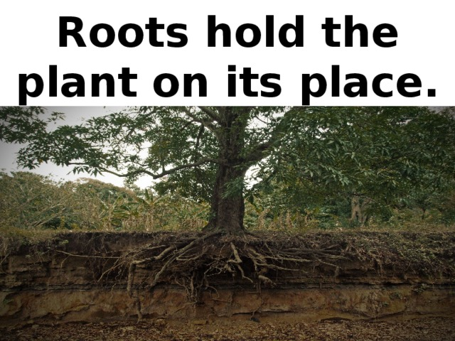 Roots hold the plant on its place.