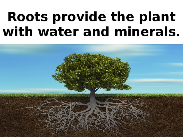 Roots provide the plant with water and minerals.