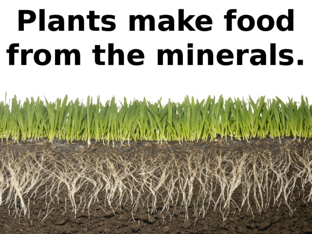 Plants make food from the minerals.