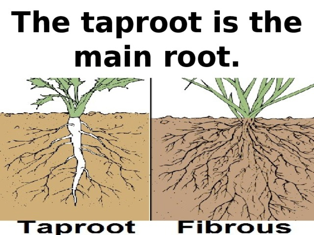 The taproot is the main root.