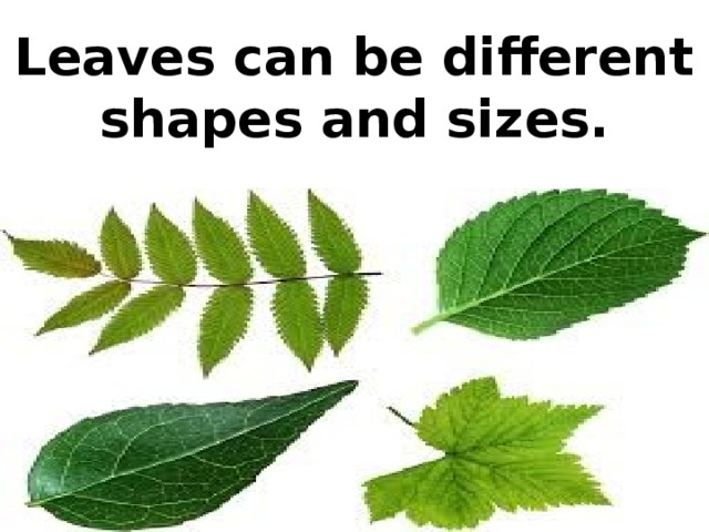 Leaves can be different shapes and sizes.