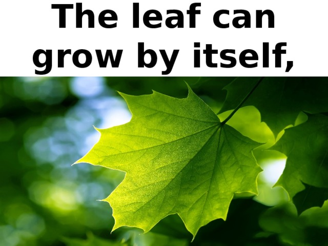 The leaf can grow by itself,