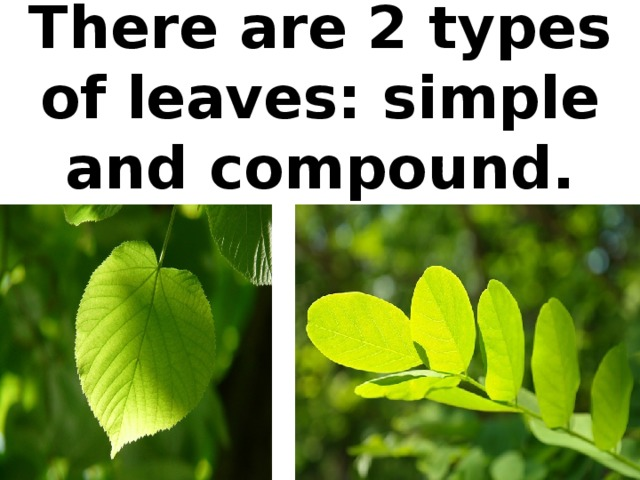 There are 2 types of leaves: simple and compound.