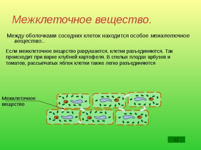 Межклеточное вещество.  Между оболочками соседних клеток находится особое межклеточное вещество .. Если межклеточное вещество разрушается, клетки разъединяются. Так происходит при варке клубней картофеля. В спелых плодах арбузов и томатов, рассыпчатых яблок клетки также легко разъединяются Межклеточное вещество