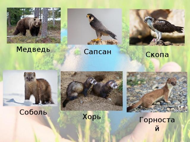 Медведь Сапсан Скопа Соболь Хорь Горностай