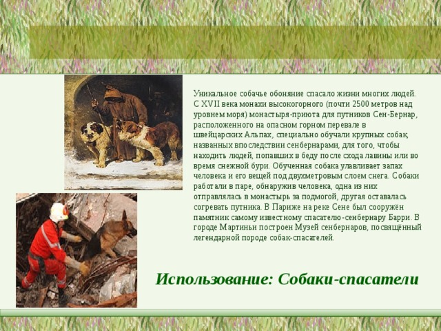 Уникальное собачье обоняние спасало жизни многих людей. С XVII векамонахивысокогорного (почти 2500 метров над уровнем моря) монастыря-приюта для путников Сен-Бернар, расположенного на опасном горном перевале в швейцарскихАльпах, специально обучали крупных собак, названных впоследствии сенбернарами, для того, чтобы находить людей, попавших в беду после сходалавиныили во время снежной бури. Обученная собака улавливает запах человека и его вещей под двухметровым слоем снега. Собаки работали в паре, обнаружив человека, одна из них отправлялась в монастырь за подмогой, другая оставалась согревать путника. В Париже на реке Сене был сооружён памятник самому известному спасателю-сенбернару Барри. В городеМартиньипостроенМузей сенбернаров, посвящённый легендарной породе собак-спасателей. Использование: Собаки-спасатели