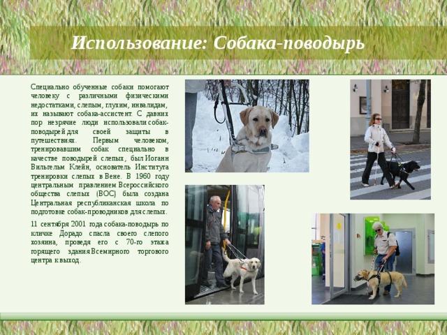 Использование: Собака-поводырь   Специально обученные собаки помогают человеку с различными физическими недостатками,слепым,глухим,инвалидам, их называют собака-ассистент. С давних пор незрячие люди использовалисобак-поводырейдля своей защиты в путешествиях. Первым человеком, тренировавшим собак специально в качестве поводырей слепых, былИоганн Вильгельм Клейн, основатель Института тренировки слепых вВене. В 1960 году центральным правлениемВсероссийского общества слепых (ВОС) была создана Центральная республиканская школа по подготовке собак-проводников для слепых. 11 сентября 2001 годасобака-поводырь по кличке Дорадо спасла своего слепого хозяина, проведя его с 70-го этажа горящего зданияВсемирного торгового центрак выход.