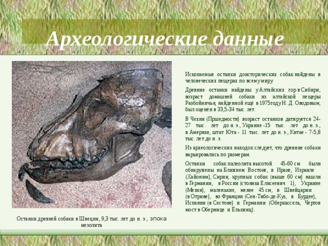 Археологические данные Ископаемые останки доисторических собакнайдены в человеческих пещерах по всему миру. Древние останки найдены уАлтайских горвСибири, возраст домашней собаки из алтайской пещеры Разбойничья, найденной ещё в1975годуН.Д.Оводовым, был оценён в 33,5-34 тыс. лет. ВЧехии(Пршедмости) возраст останков датируется 24-27 тыс. лет дон.э.,Украине-15 тыс. лет дон.э., вАмерике,штат Юта- 11 тыс. лет дон.э.,Китае- 7-5,8 тыс. лет дон.э. Из археологических находок следует, что древние собаки варьировались по размерам. Останки собакпалеолитавысотой 45-60см были обнаружены наБлижнем Востоке, в Ираке, Израиле (Хайоним),Сирии, крупных собак (выше 60 см) нашли вГермании, вРоссии(стоянкаЕлисеевич 1), Украине (Мезин), маленькие, менее 45см, в Швейцарии (вОтриве), воФранции(Сен-Тибо-де-Куз, в Бурдее), Испании(вСестоне) и Германии (Оберкассель, Чёртов мост вОберницеиЁлькниц). Останки древней собаки в Швеции, 9,3 тыс. лет до  н.  э., эпоха мезолита
