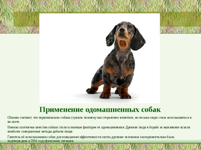 Применение одомашненных собак   Обычно считают, что первоначально собака служила человеку как сторожевое животное, но весьма скоро стала использоваться и на охоте. Именно охотничьи качества собаки стали основным фактором её одомашнивания. Древние люди в борьбе за выживание искали наиболее совершенные методы добычи пищи. Гипотезаоб использовании собак для повышения эффективности охоты древним человеком экспериментально была подтверждена в2004 годуфинскими учёными.