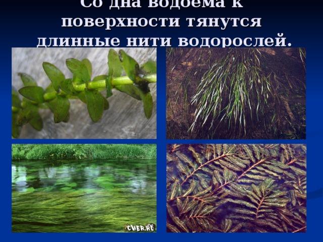 Со дна водоёма к поверхности тянутся  длинные нити водорослей.