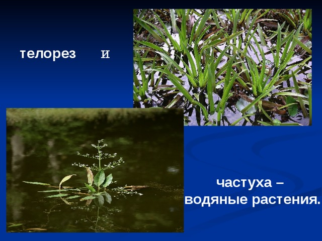 телорез и  частуха – водяные растения.