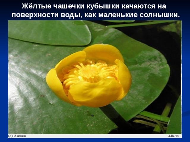 Жёлтые чашечки кубышки качаются на поверхности воды, как маленькие солнышки.