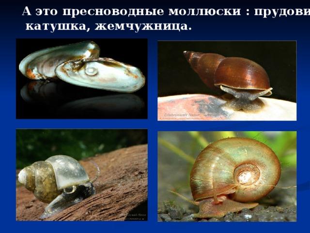 А это пресноводные моллюски : прудовик,  катушка, жемчужница.