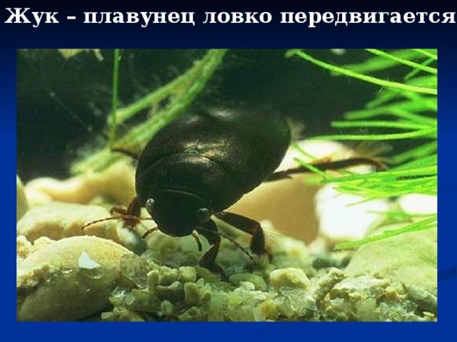 Жук – плавунец ловко передвигается в воде.
