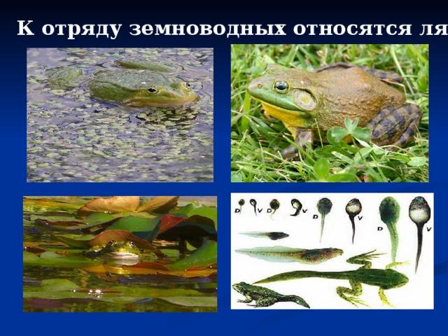 К отряду земноводных относятся лягушки.